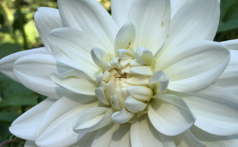 FOTD- White Dahlia